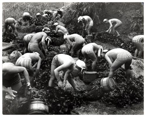 Yoshiyuki Iwase, Harvesting Seaweed, 1956