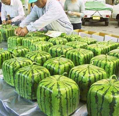 basic square melons