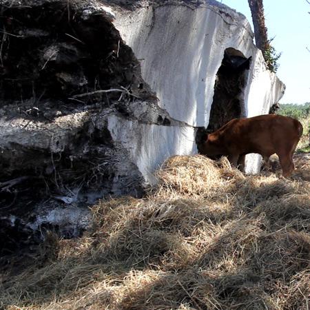 Paulina the cow